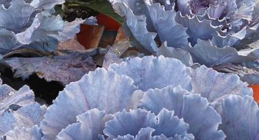 Ornamental Cabbages Add Interest and Color