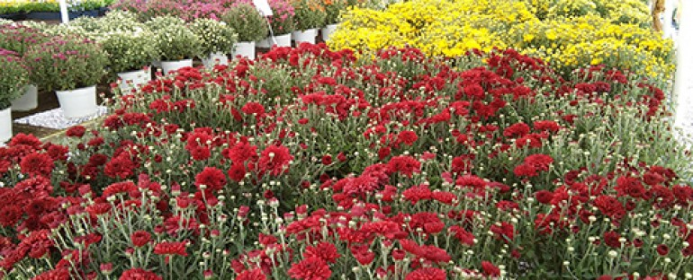 Beautiful Mums and other Fall Flowers