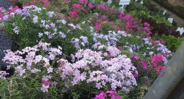 Spring Perennials